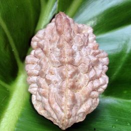 rudraksha seed